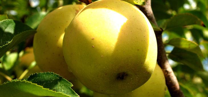 Лечебни свойства на ябълката