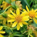 Арника – Arnica montana L.